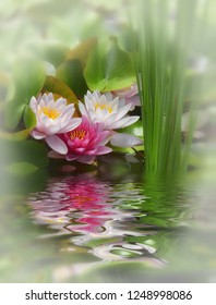 Three different-colored water lilies with water