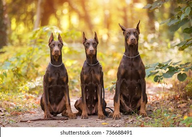 Three Doberman Pincher relaxing in the autumn park