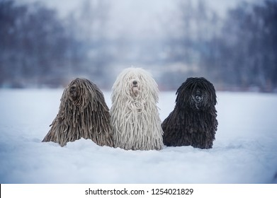 Three dogs breed Hungarian puli in nature from Christmas trees. In winter, a dogs with white, gray, black hair. Winter mood, snow, cold
