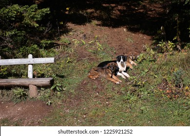 Three dogs in the forest at national park Durmitor, Montenegro