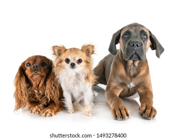 three dogs in front of white background