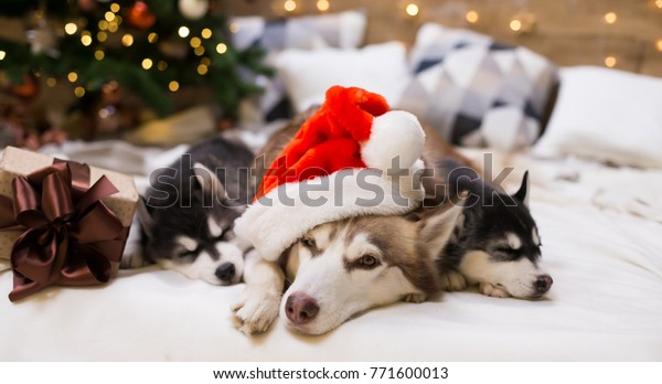 Three Dogs Husky Mom Puppy Amazing Stock Photo Edit Now 771600013 2019 calendar by life with malamutes. shutterstock