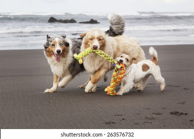 Three dogs playing and running in the beach with a toy. They are looking at the camera.