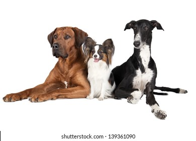 three dogs (Rhodesian Ridgeback  Papillon and Hort greyhound) on a white background in studio