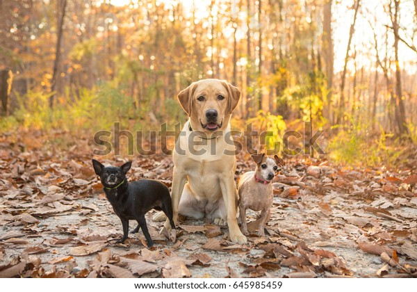 Three dogs sit together for a portrait in the woods during fall