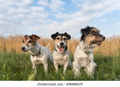 Three dogs sitting in the evening in front of a cereal field - jack russell terrier