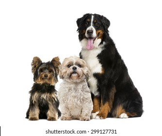 Three dogs sitting in front of a white background