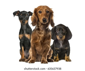 Three dogs sitting, isolated on white