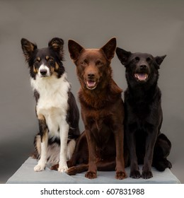 Three dogs in studio with grey background