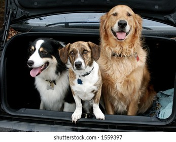 Three dogs in the trunk.