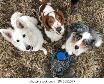 Three dogs waiting for treat