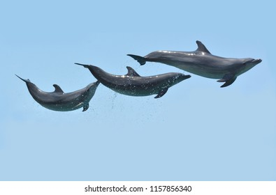 Three Dolphins leaps in the air isolated over a blue sky background.