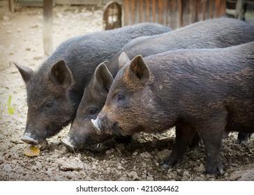 Three domestic black pigs or piglets  on a free range farm