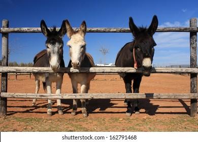 three donkeys behind fence