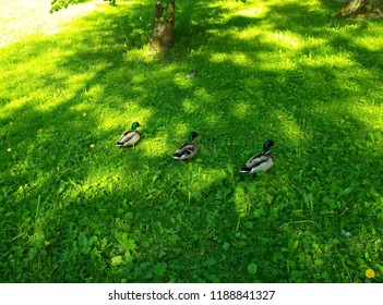 Three drakes on a green lawn.
