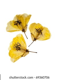 Three dried and pressed yellow primrose flowers isolated on white background