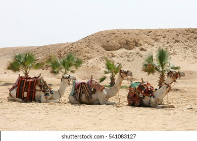 Three dromedaries in the sand. Three camels are waiting for tourists