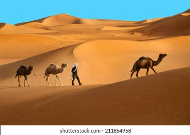 Three dromedary camels walking with berber man in the Sahara desert in Morocco