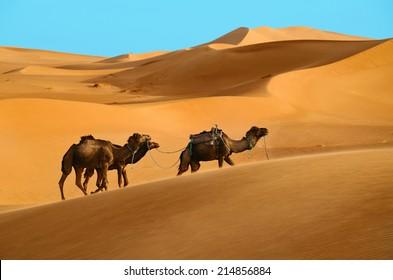 Three dromedary camels walking in the Sahara desert in Morocco