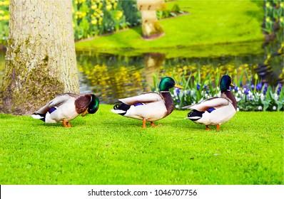 Drei Enten auf grünem Gras