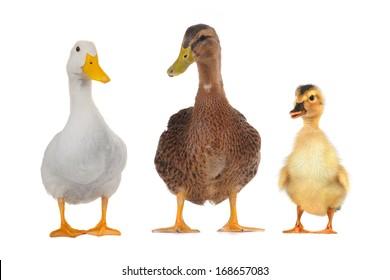 Three ducks  on white a background