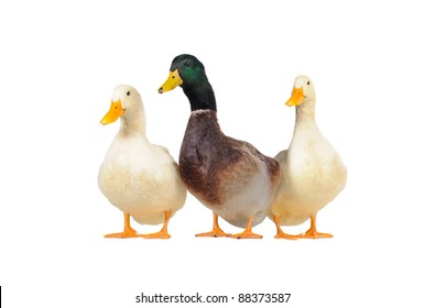 three ducks on a white background