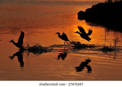 Three ducks in silhouette taking off from lake.