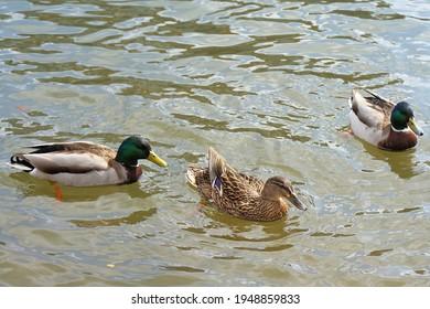 three ducks swim in the river