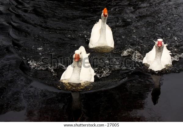 Three ducks swimming quickly toward viewer