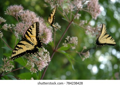 Three Eastern Tiger Swallowtail butterflies nectaring on a joe pye weed plant in rural Pennsylvania.  A narrow depth of field makes the butterfly in the foreground stand out.