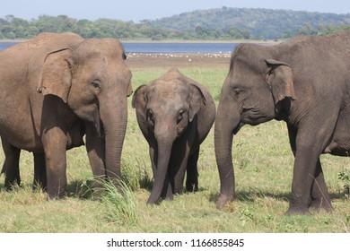 Three elephants are feeding in Minneriya National Park, Sri Lanka