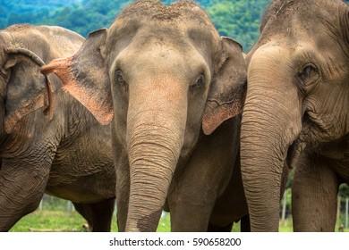 Three elephants in nature park - Chiang Mai, Thailand