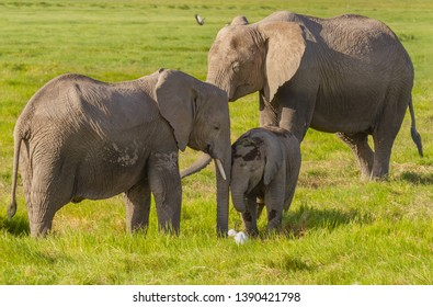 Three elephants nuzzle close smiling happily Loxodonta Africana Amboseli National Park Kenya East Africa looking at cattle egret bird green grass wallpaper screensaver background