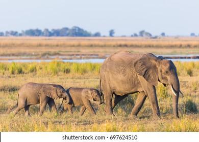 Three elephants walking in Botswana