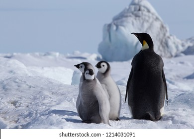 Three Emperor Penguins chicks and one adult at Snow Hill Emperor Penguin Colony, Antarctica, October 2018.