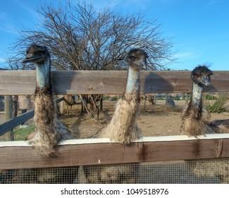 Three emus at an ostrich farm in California.