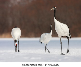 Three endangered Red-crowned Crane (Grus japonensis) standing on snow covered meadow on Hokkaido in Japan during winter.
