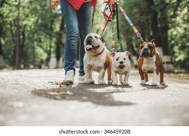 Three English bulldog on a leash