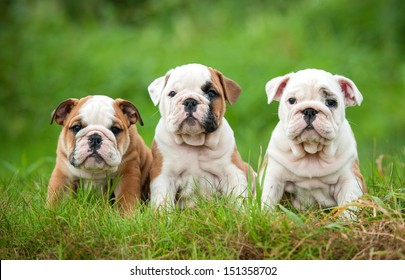 Three english bulldog puppies sitting on the grass