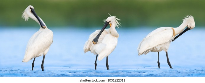 Three Eurasian Spoonbills (Platalea leucorodia) standing in the water and preening their feathers with soft background of green reeds on a cloudy summer day in the wetland.
