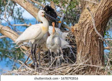 Three Eurasian spoonbills stand in their nest. Nesting spoonbill from Kerkini lake in Greece.