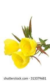 Three evening primrose blossoms isolated on white