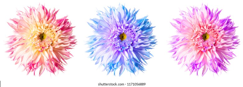 Three excellent flowers of Dahlia in different color shades isolated on a white background