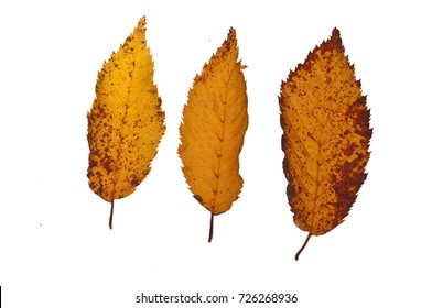 three fallen leaves isolated and backlit