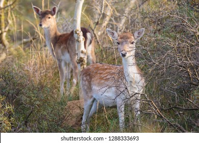 Three Fallow deer (Dama Dama) fawn standing together in Autumn season. The Autumn fog and nature colors are clearly visible on the background.