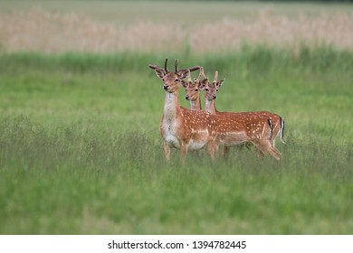 Three fallow deer, dama dama, stags in summer with growing antlers covered in velvet. Herd of male wild animals standing on a green fresh looking meadow in nature in spring.
