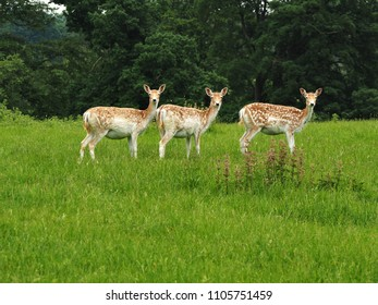 Three fallow deer in a green field looking towards the camera