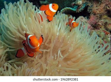 Three False clown anemonefish on anemone Boracay Philippines
