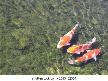 Three Fancy carps (Koi fish, Cyprinus carpio) in pond, Koishikawa Korakuen garden, Okayama, Japan. Copy space for text