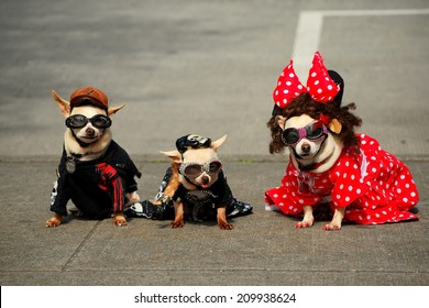 Three Fashionable Dogs (Chihuahuas) Pose for Photographers
